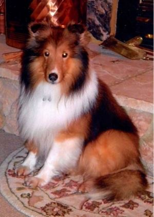 Arthur Sheltie Dog